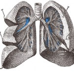 Lung illustration from Gray's Anatomy.